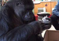 Koko- 44gadīga gorilla kļūst par audžumammu kaķēniem FOTO,VIDEO