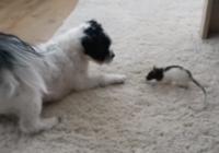 Šis suns ar šo žurku kaut kā kļuva par labākajiem draugiem… Noskaties kā viņi spēlējas VIDEO