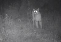 Kad Tu dzirdēsi kalnu lauvas rēcienu, Tu vairs nekad nedosies pārgājienos VIDEO