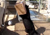 Izbijis vegasas leopards spēlējas ar savu jauno rotaļlietu – pati jaukākā lieta, kas redzēta