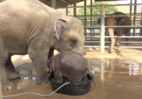 Šis ziloņu mazulis bija vannojies nedaudz par ilgu… Tāpēc viņa mamma izdomāja tam pielikt punktu