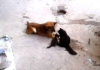 Dienas mīļuma deva: kaķene iepazīstina kaķēnus ar suni. VIDEO