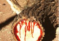 """Savvaļas tīkkoks- pārsteidzošs """"asiņojošais"""" koks. FOTO"""