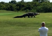 Pa golfa laukumu klīstošs milzu aligators šokē spēlētājus un visu internetu! FOTO/ VIDEO