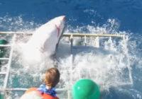 Baltā haizivs ielauzās tūrista-nirēja būrī. Brīnumainā kārtā viņš izdzīvoja! Neskatīties personām ar vājiem nerviem! VIDEO
