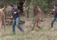 Austrālietis sakāvās ar ķenguru, kurš bija sagrābis viņa suni VIDEO
