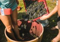 FOTO: Barkānu ģimene ar jestru vīnogu mīcīšanu un kūkas ēšanu novāc jauno ražu