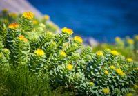 Slavenā zeltsakne un citi augi, kas palīdz pret zemu asinsspiedienu