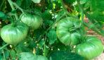 Īsts brīnums: koši zaļi tomāti, kas nekad nemaina krāsu