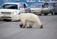 VIDEO: Noriļskas piepilsētās ieklīdis izsalcis leduslācis