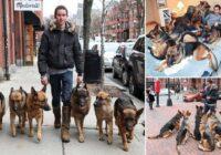 VIDEO: Suņu vārdotājs – treneris iet pastaigā ar veselu suņu baru bez pavadiņām