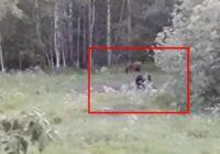 Latvija – lāču zeme? Kārtējo ķepaiņu video, šoreiz no Ungurmuižas