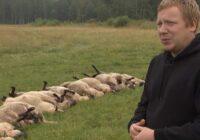 VIDEO: Madonā vilki noplēš aitu ganāmpulku dažas dienas līdz medību sākumam