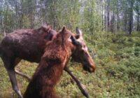FOTO: Somijas pierobežā lācis noplēš alni; robežsargi no tās vietas vairīsies