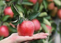 Jauka iniciatīva: Tallinā ābolu pieturās par brīvu dalīsies ar augļiem