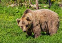 """Latvijai """"uzbrūk"""" iezīmēti krievu lāči Pols un Proša?! Aculiecinieki dalās ar video"""