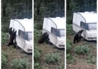 Lāču video arvien vairāk: ķepainis gramstās gar treileru pie Valgas
