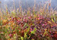 Siltā ziema: Latvijas dzērveņu laukos joprojām vāc ražu!