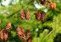 Ārstniecības augu horoskops janvārim un februārim. Ko vāc ziemā?