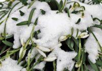 Mostas sniegupulksteņi un ezīši, kas būs tālāk? Laiku janvārī prognozē slavenais Vilis Bukšs