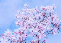 Ziedu horoskops 1. – 10. aprīlim. Magnolija