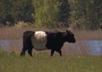 VIDEO: Vakarbuļļos ganīsies savvaļas govis