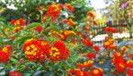 Balkons mirdzoši sarkanos toņos. Idejas ziedu un augu izvēlei