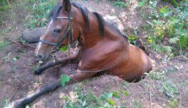 FOTO: Kā glābēji Babītē izvilka zirgu no, iespējams, trušu alas