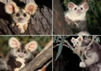 FOTO: Ļoti mīlīgi zvēriņi ar pūkainām ausīm izrādās jaunu sugu pārstāvji