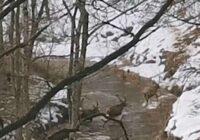 Iespaidīgs video: Tērvetes upi šķērso milzīgs staltbriežu bars