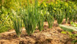 Kāpēc sīpoli jāstāda 31. maijā? Senču ticējumi par visu turpmāko vasaru!