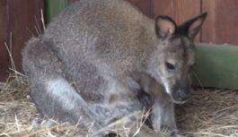 Liepājas pludmalē satiec ķenguru? Nebrīnies, bet ziņo – tas ir izmukušais Sidnejs!