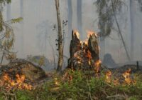 VIDEO: Plašu meža ugunsgrēku Garkalnē palīdz dzēst arī armija