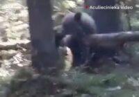 VIDEO: Lācis pārtrauc mežinieku darba dienu Vijciemā